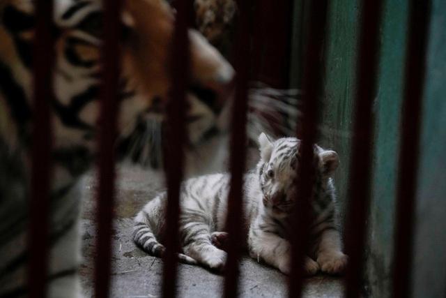 Hổ trắng ra đời ở vườn thú, Cuba chào đón hổ mang biến thể sắc tố quý hiếm - Ảnh 2.