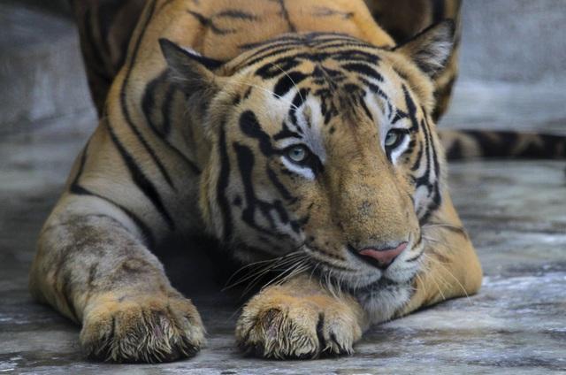 Hổ trắng ra đời ở vườn thú, Cuba chào đón hổ mang biến thể sắc tố quý hiếm - Ảnh 3.