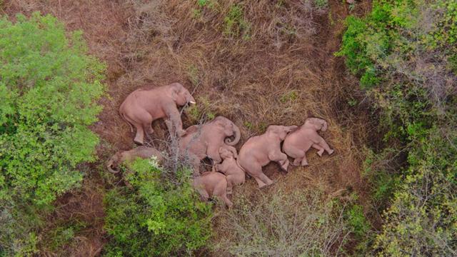 Đàn voi cùng ngủ gây sốt trên mạng - Ảnh 2.