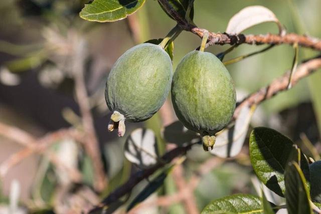 Không cần mua hoa quả tích trữ, bạn có thể trồng những trái cây này tại nhà - ảnh 3