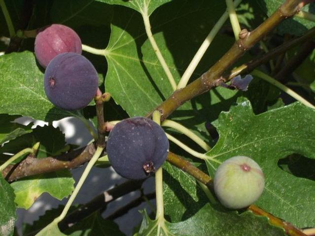 Không cần mua hoa quả tích trữ, bạn có thể trồng những trái cây này tại nhà - ảnh 4