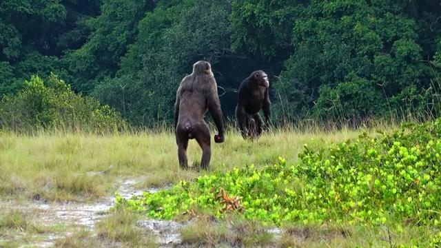 Lần đầu tiên quan sát thấy tinh tinh tấn công và hạ gục khỉ đột - ảnh 1