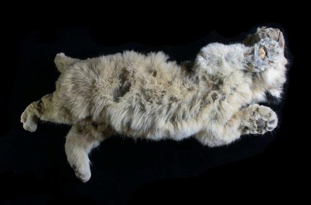 Tìm thấy hóa thạch sư tử nhiên đại 28.000 năm trong lớp băng vĩnh cửu ở Siberia - ảnh 1