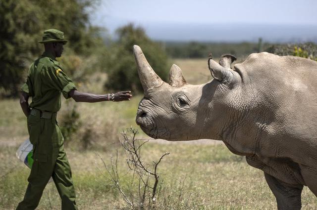 Tạo phôi thai để cứu tê giác trắng phương Bắc khỏi họa tuyệt chủng - ảnh 1
