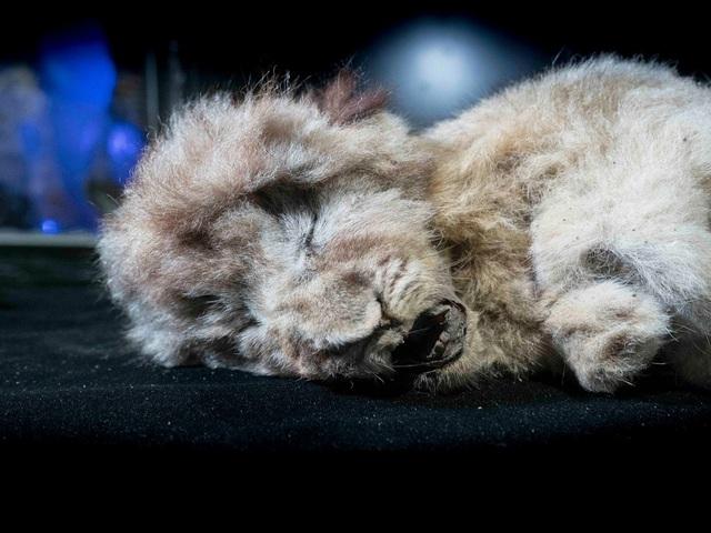 Phát hiện xác sư tử 28.000 tuổi nguyên vẹn trong hang động cổ đại - ảnh 1