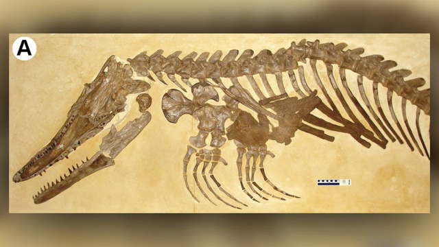 Khủng long Mosasaur - quái vật biển dài hơn 5m thống trị đại dương cổ đại - ảnh 2