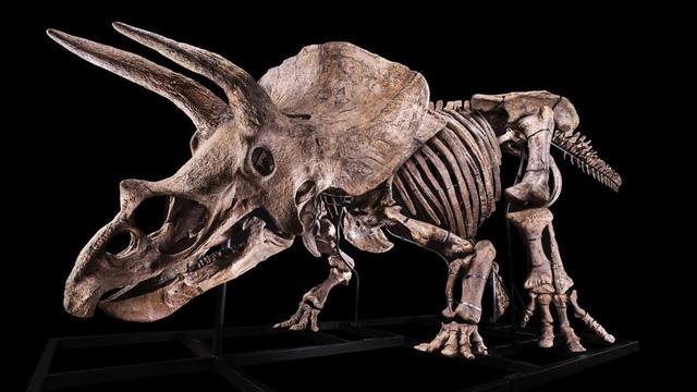 Bộ xương khủng long Triceratops lớn nhất thế giới được bán đấu giá - Ảnh 1.