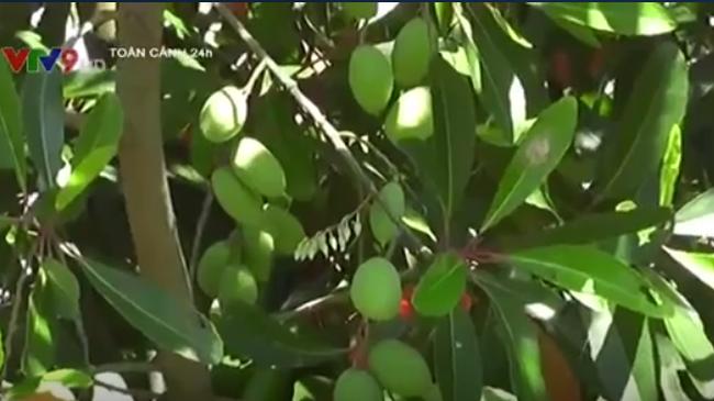 Trái cà na tạo thêm thu nhập cho nông dân An Giang - ảnh 1