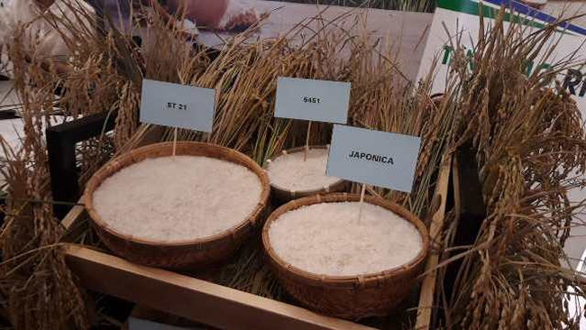 The Vietnamese rice sector will attempt to increase the volume of fragrant rice, specialty rice and Japonica rice (Photo: NDO)