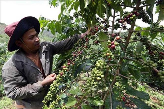 A farmer takes care of his coffee plant in Dak Glong district, Dak Nong province (Photo: VNA)
