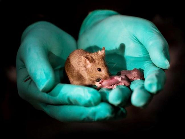 Tạo ra chuột con từ hai chuột cái - ảnh 1