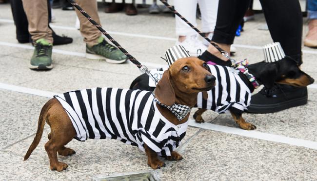Thú vị cuộc diễu hành của những chú chó xúc xích - ảnh 1