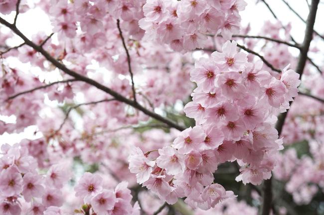 Hoa anh đào Nhật Bản nở sớm hơn so với thường lệ - ảnh 2