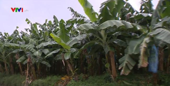 Lo ngại diện tích trồng chuối tăng mạnh - ảnh 2