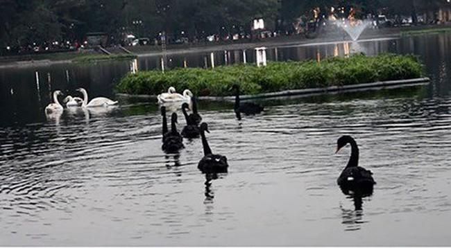 Một con thiên nga ở hồ Thiền Quang bị mắc lưỡi câu trộm - ảnh 2