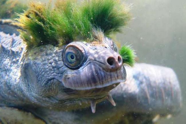 Rùa tóc xanh đối mặt với nguy cơ tuyệt chủng - ảnh 1