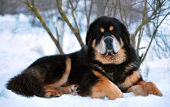Chó Ngao Tây Tạng Loài Vật Nuôi đắt Tiền Nổi Tiếng Trung Thành
