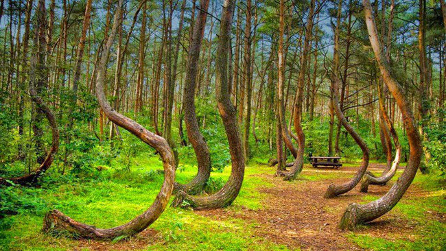 Bí ẩn khu rừng có hàng trăm gốc cây bị uốn cong một cách khó hiểu - ảnh 4