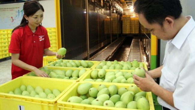 Mangos being inspected before export in Binh Duong province.