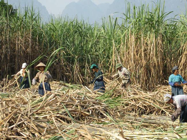 Giá mía thấp, nông dân Gia Lai thất thu - ảnh 2