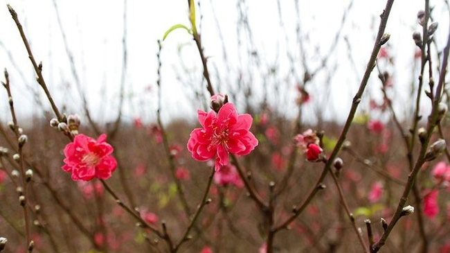 The blossom of peach flowers sends a signal of the arrival of a new spring.