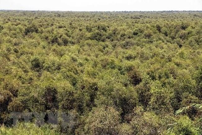 U Minh Ha cajeput forest in Ca Mau province (Photo: VNA)