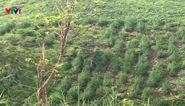 Thu giữ hơn 2.000 cây cần sa ở Gia Lai - ảnh 2