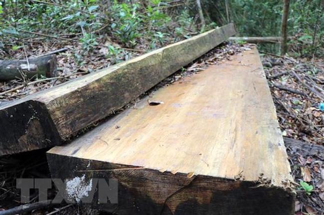 Lâm Đồng: Khởi tố đối tượng khai thác 28m3 gỗ quý trong rừng phòng hộ - ảnh 1