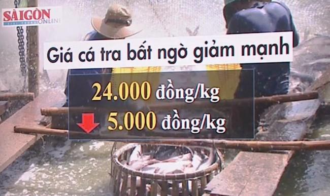 Giá cá tra chìm nổi vì tâm lý ăn xổi - ảnh 2