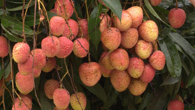 Vietnamese lychee fruits remain fresh when arriving in Japan.