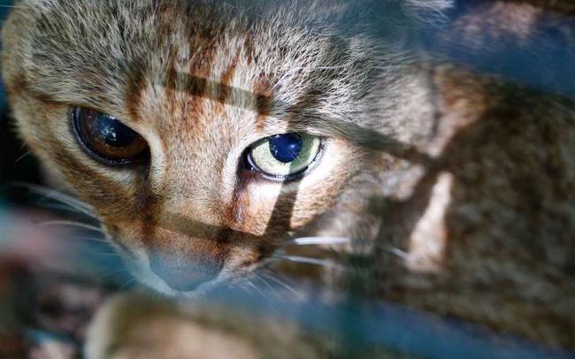 """Phát hiện sinh vật bí ẩn """"nửa cáo nửa mèo"""" - ảnh 4"""