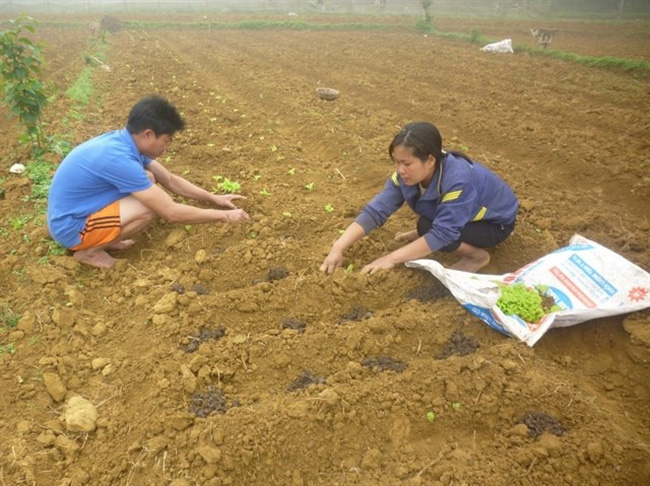 Kha Thi Xuan, a member of Khan Tan Co-operative in Hoa Binh province's Mai Chau District, plants vegetables on a large scale. Joining the co-operative brings higher economic efficiency for its members as they no longer worry about the sale of their products.(Source:mpi.gov.vn)