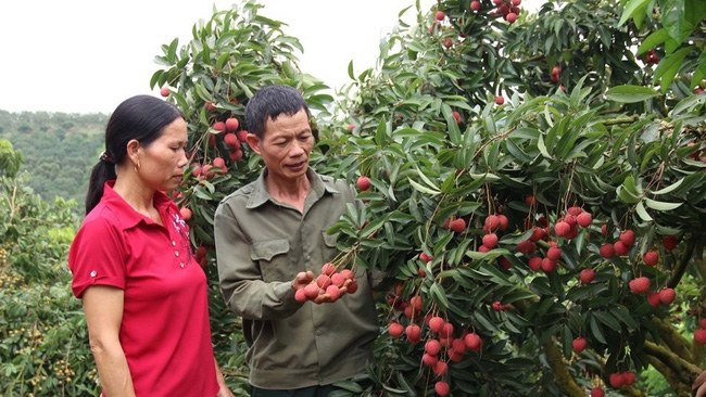 A lychee garden under VietGAP standards in Phi Dien commune, Luc Ngan district. (Photo: baobacgiang.com.vn)