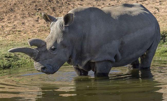 Các nhà khoa học cấy ghép thành công phôi thai của loài tê giác trắng - ảnh 1