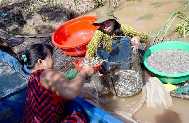 Siamese mud carp and other small-sized fish are caught in the floodwaters in Hong Ngu district's Thuong Thoi Hau A commune in Dong Thap province (Source: VNA)