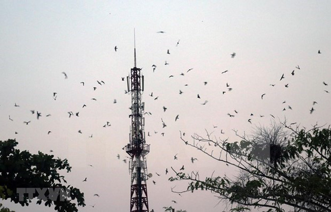Swifts gather to their nestles in Giong Rieng district of Kien Giang province. (Photo: VNA)