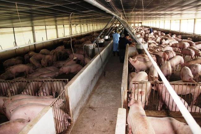 Lợn hơi giảm giá nhưng người tiêu dùng vẫn khó mua được thịt giá rẻ - ảnh 3