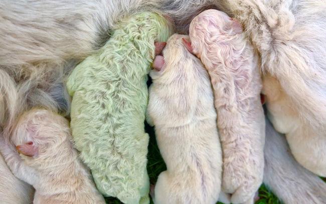 Độc lạ, chú chó lông xanh tự nhiên vừa chào đời tại Italy - ảnh 3