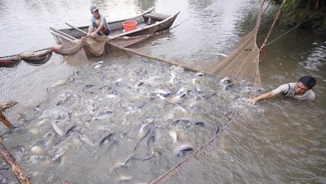 Tra fish harvesting in Long Xuyen, An Giang province. (Photo: THANH PHONG)