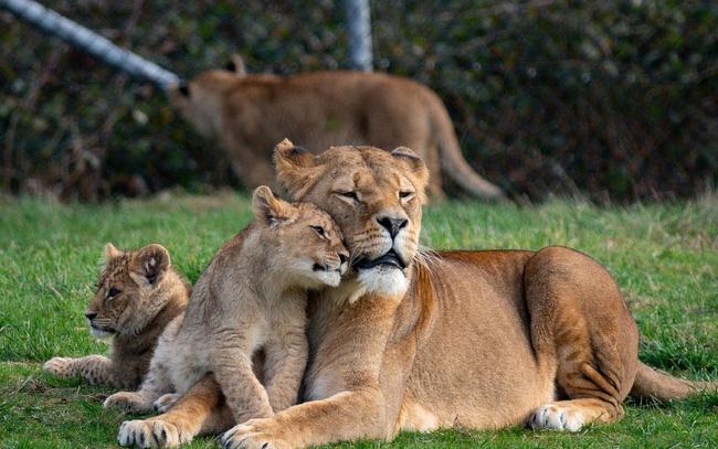 Sửng sốt, phát hiện 4 chú sư tử ở vườn bách thú nhiễm COVID-19 - ảnh 3