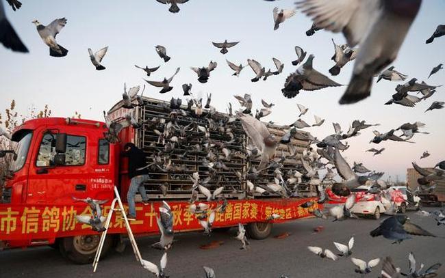 Ấn tượng, môn thể thao đua bồ câu đầy kịch tính tại Trung Quốc - ảnh 4