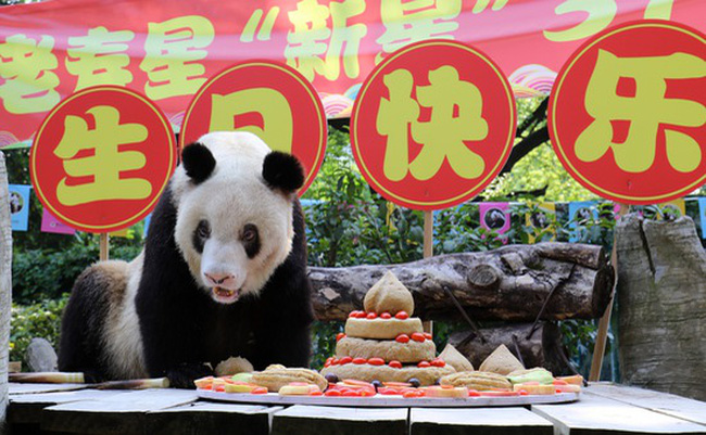 Gấu trúc già nhất thế giới tại Trung Quốc qua đời ở tuổi 38 - ảnh 2