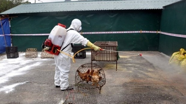 Spraying antiseptic at poultry breeding farms prevents possible disease outbreaks (Photo: VNA)