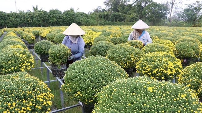 Farmers tend chrysanthemum pots in Sa Dec flower village in Dong Thap Province. (Photo: VNA)