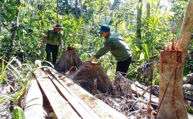 Yêu cầu điều tra nghiêm vụ lâm tặc ngang nhiên mở đường vào phá rừng tại Phú Yên - ảnh 2