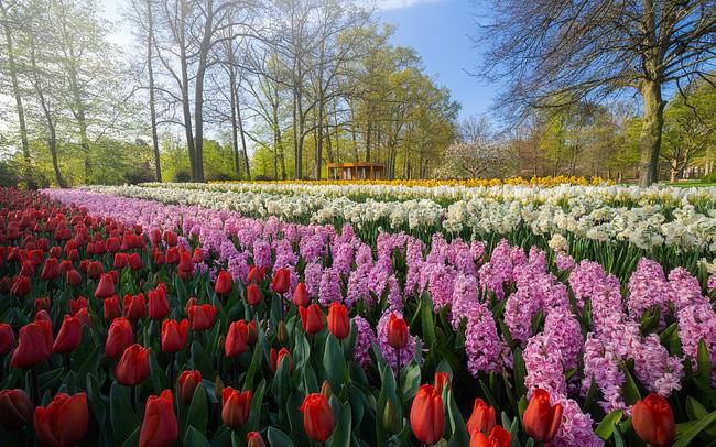 """""""Vườn hoa mùa xuân đẹp nhất thế giới nở rộ nhưng không có khách tham quan - ảnh 11"""