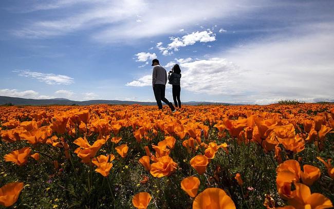 Hàng triệu bông hoa anh túc nở rộ bất chấp hạn hán lịch sử tại California (Mỹ) - ảnh 9