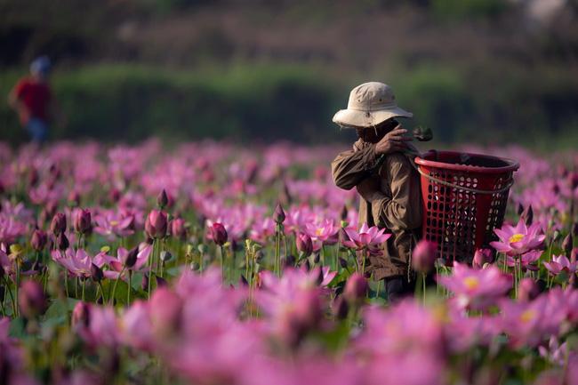 Đẹp mê mẩn hồ sen Điện An của Quảng Nam - ảnh 21