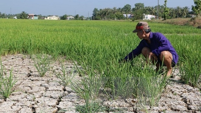 A farmer on his dry rice field in the Mekong Delta province of Long An (Photo: VNA)