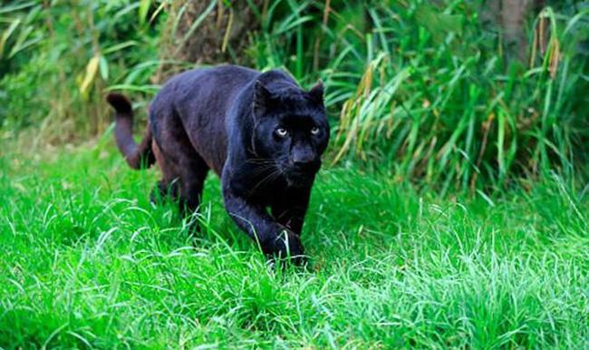 Mơ thấy con báo đen chơi lô gì?